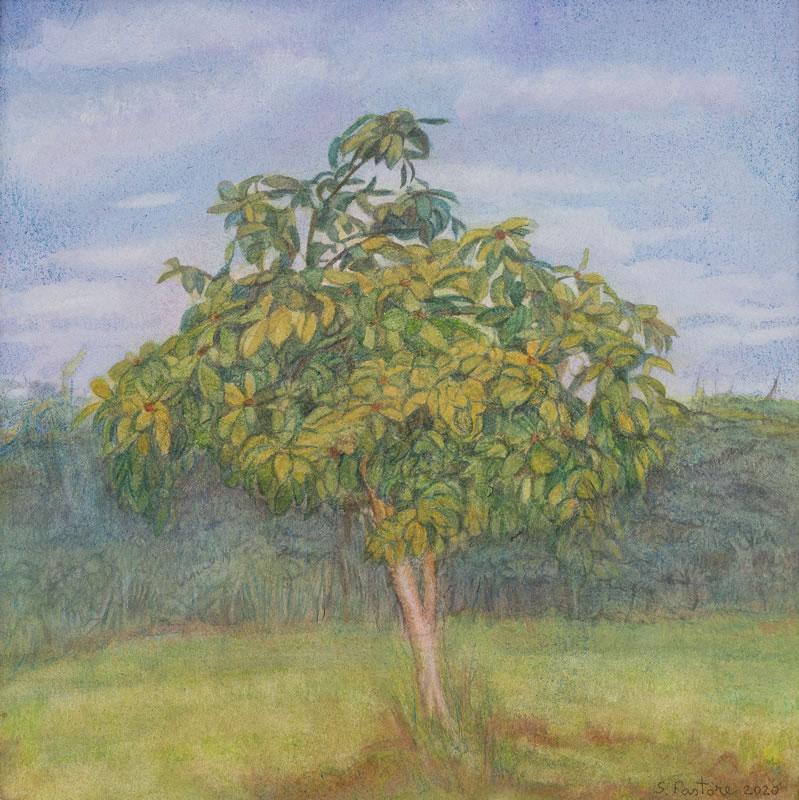 Medlar tree, August, 2/3 pm