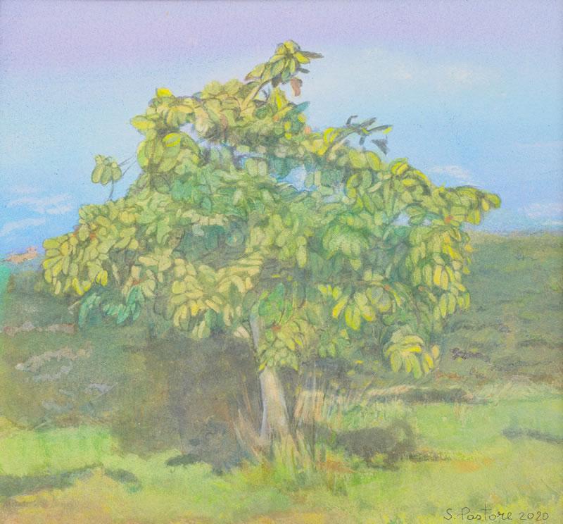 Medlar tree, August, 9/10 am