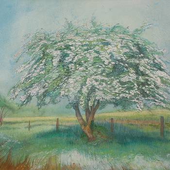 May hawthorn tree